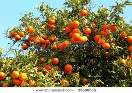 how to tell which branches to keepcitrus trees grafting